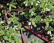 Common ground cover Purslane. Easily identifiable if you are foraging.