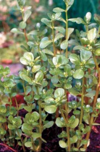 Upright Purslane is lovely among your plants, grows quickly, is easy to harvest and so nutritious!