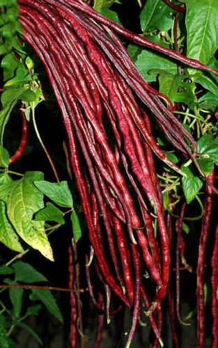 Delicious Red Noodle Long Beans! Vigna unguiculata sesquipedalis