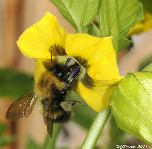 Half-Black Bumblebee on Tomatillo Flower