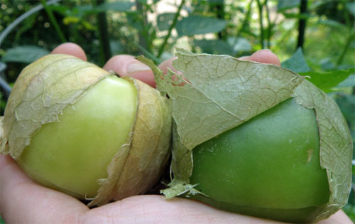 When to Harvest your Tomatillos