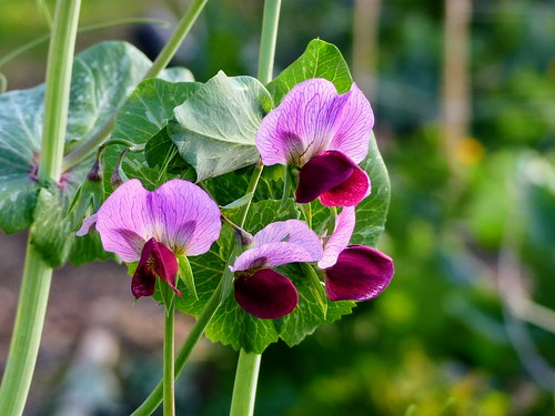 Perennial Sweet Peas Seeds need Cold Stratification to Germinate!