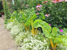 Companion Plants Alyssum Flower Yellow Chard ~ Beautiful and Delicious!