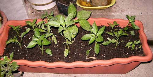 Your Very Own Pepper Nursery Container!