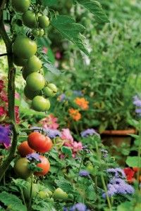 Edible Landscape Tomatoes and Flower Companions! (1)