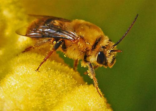 Pollinator Squash Bee, Peponapis pruinosa