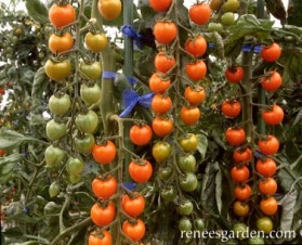Beautiful SunGold Tomato Trusses Ripening by Renee's Garden