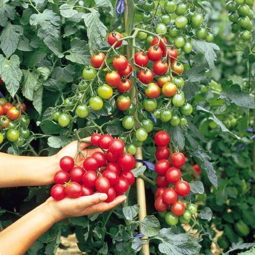 Tomato Cherry Multi Trusses