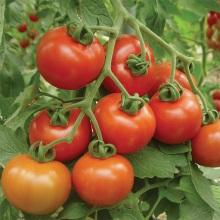 Tomato Goliath Slicer Double Truss