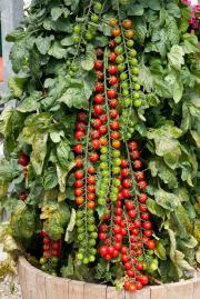 Fantastic Rapunzel Tomato Trusses - up to 40 tomatoes per truss!