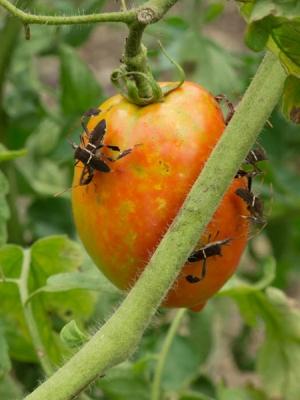 Leaffooted Bugs Tomato Damage