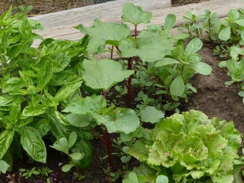 Burgundy Okra planted from Nursery Patch